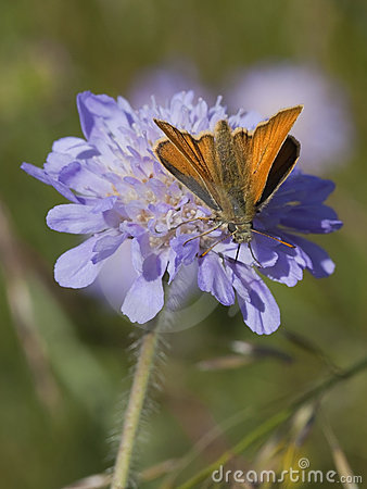 Skipper butterfly on scabious flower