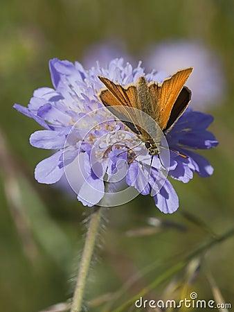 Skipper butterfly on scabious flower