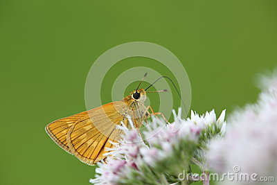 Skipper on a flower