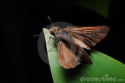 Skipper On A Leaf