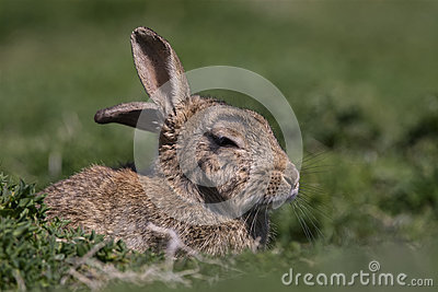 Skokholm Island Rabbit with cocked ear