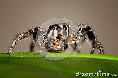 Skokowy pająk