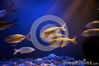 Skola av fisken i rörelse.