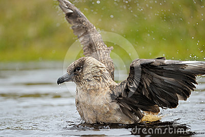 Skua bathing