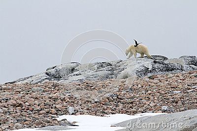 Skua and Polar Bear
