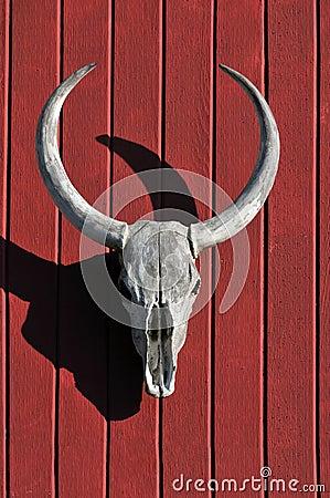 Skull of Bull over Red Wood