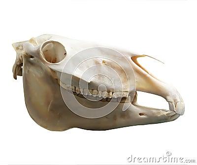 Skull of domestic horse