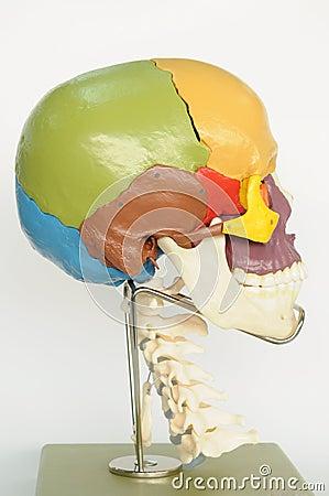Free Skull Human Anatomy Royalty Free Stock Photography - 18639017