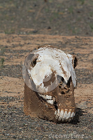 Free Skull Of Horse And Cow Royalty Free Stock Photography - 37257977