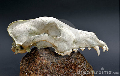 Skull of a predator