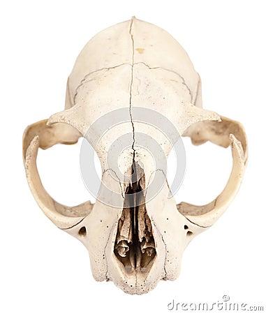 Skull of rodent animal