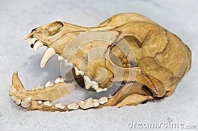 Skull of Small Animal