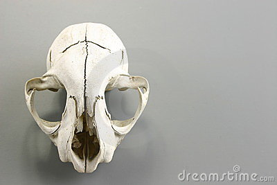 Skull of a wild animal