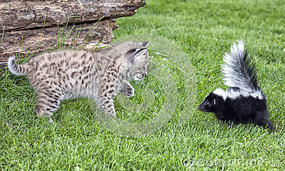 Skunk and Bobcat
