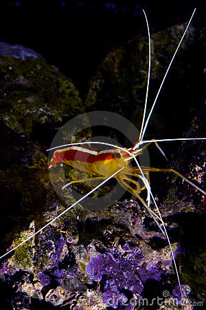 Skunk cleaner shrimp  lysmata amboinensis