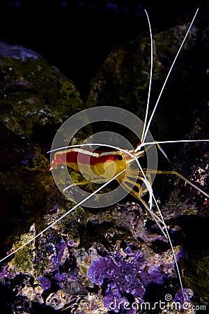 Free Skunk Cleaner Shrimp Lysmata Amboinensis Royalty Free Stock Photography - 8118227