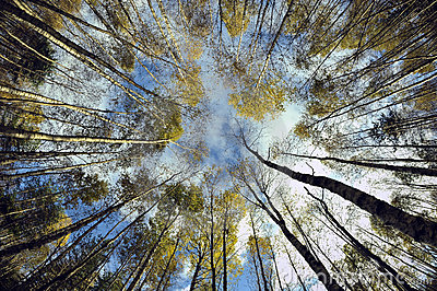 Sky in birch forest.