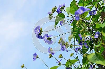 Sky blue Cluster vine