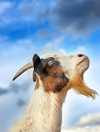Free Sky Goat Royalty Free Stock Images - 19445019