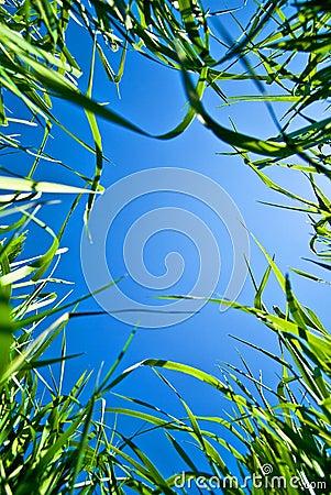 Sky through the grass