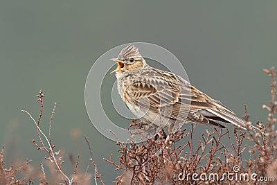 Sky lark (Alauda arvensis)