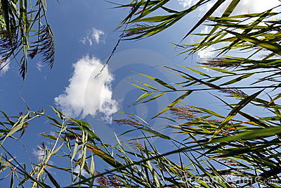 Sky through Reeds