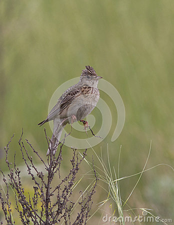 Skylark sitting on a branch of dry grass.