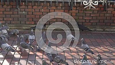 Slag tussen kraaien en duiven stock videobeelden