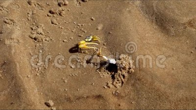 Slag van krabpuppy, op het zand stock video