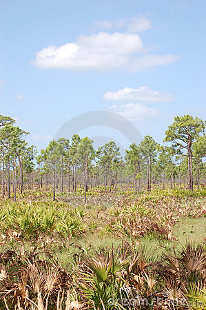 Slash Pines in Saw Palmetto flatlands