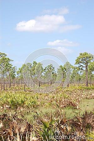 Slash Pines in Saw Palmetto flatlands