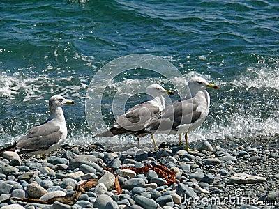 Slaty-backed Gulls 9
