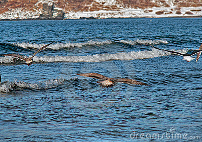 Slaty-backed Gulls (Larus schistisagus)