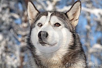 Sled dog