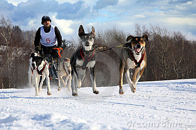 Sled dog Editorial Stock Image