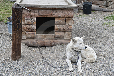 Sled dog chained to post
