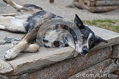 Sled dog napping