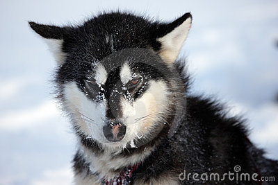 Sled dog on the pack ice of East Greenland