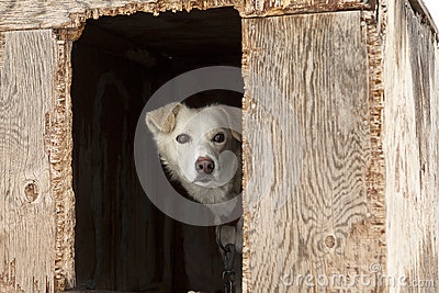 Sled Dog In Plywood Kennel