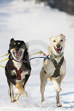 Sled dog Race in Lenk / Switzerland 2012