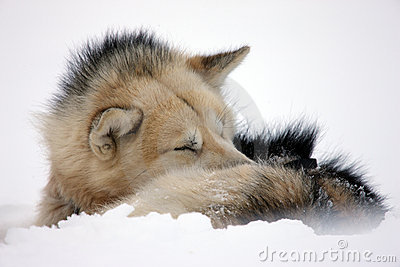 Sled dog rolled up to sleep in the snow, Greenland