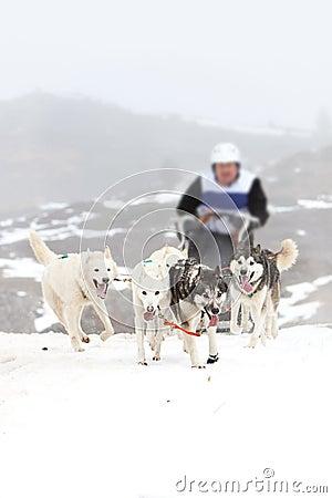Sled dog on the snow