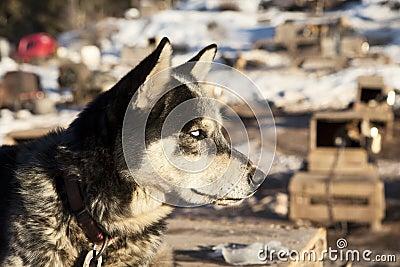 Sled Dog With White Eyes