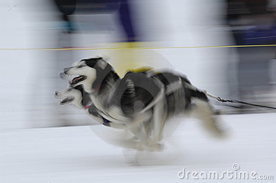 Sled Dogs 01