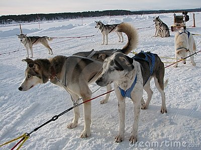 Sled Dogs Stock Image - Image: 17508651