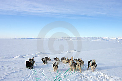 Sled dogs on the pack ice of East Greenland