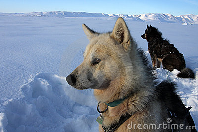 Sled dogs of polar-bear hunter, East Greenland