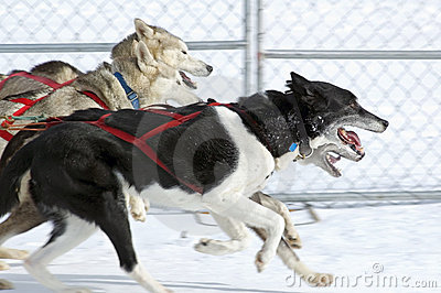 Sled Dogs Race By