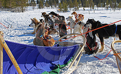 Sled dogs with sledge