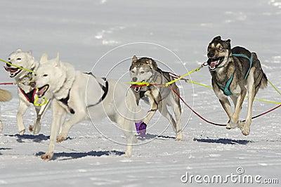 Sleddog race